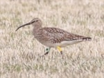 Research Icelandic Whimbrels fly non-stop to and from Africa