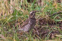 Rarity finders Dusky Thrush in Derbyshire