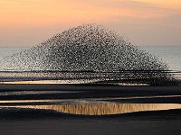 Articles Winter spectacles: 10 top UK Starling murmurations