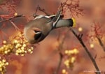 Focus On How to report colour-ringed Waxwings - and an old friend returns