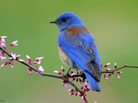 Research DNA analysis of bluebird faeces reveals benefits for vineyards