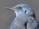 Rarity finders Blue Rock Thrush in Gloucestershire