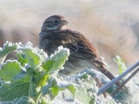 Rarity finders Pine Bunting in Shropshire