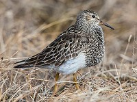 Research Sandpiper wanders thousands of miles in pursuit of sex
