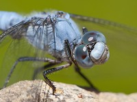 British Dragonfly Society Climate change brings new dragonflies to the UK