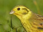 Research Lost Yellowhammer dialects remain preserved in New Zealand