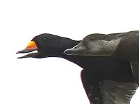 Focus On Identifying Black Scoters in all Plumages