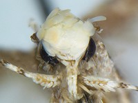 Research Recently described moth named in honour of new US president