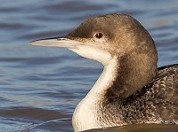Rarity finders Pacific Diver in Northumberland