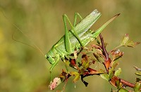 Research A unique conservation tool for monitoring bush-crickets