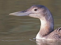 Rarity finders White-billed Diver in Lincolnshire