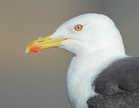 BTO Hebridean gull decline linked to loss of fishing discards