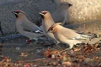 Focus On Colour-ringed Waxwing wanderings - late January update