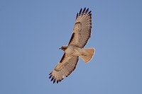Research Has Red-tailed Hawks' migratory behaviour altered due to climate change?