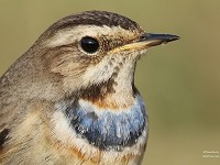 Bird of the Week Bluethroat, Lincolnshire