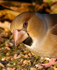 Articles Getting the shot - Hawfinch