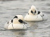 Focus On Smew: of white nuns and redheads