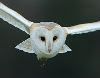 Research British Barn Owls struggle to adapt to modern life