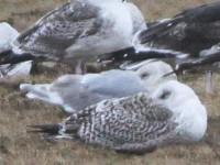 Rarity finders Glaucous-winged Gull on Fair Isle