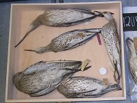 Research Slender chance of curlew rediscovery