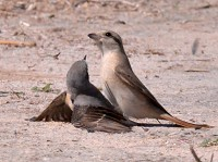 Articles Attempted predation of a Northern Wheatear by an Isabelline Shrike