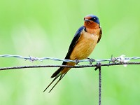 Research Breeding swallows switch hemispheres