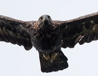 Research Older eagles migrate in poorer weather conditions