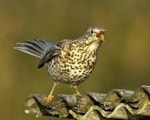 BTO Thrushes prosper in British gardens