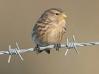 BTO Colour-ringed Twite – can you help?