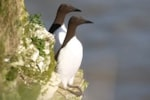 Research Seabird parents compensate for struggling partners