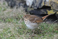 Rarity finders Hermit Thrush on Noss