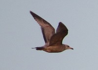 Rarity finders American Herring Gull in Suffolk