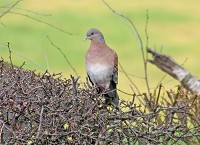 Rarity finders Oriental Turtle Dove in West Yorkshire