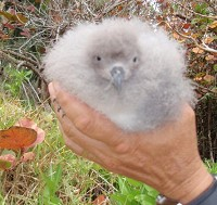 Research Record breeding season for the endangered Bermuda Petrel