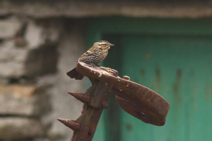 Rarity finders Red-winged Blackbird on North Ronaldsay