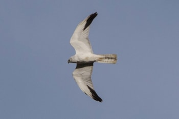 Bird of the Week Pallid Harrier