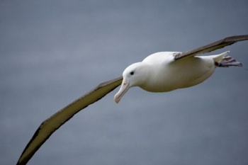 Research Counting albatrosses from space