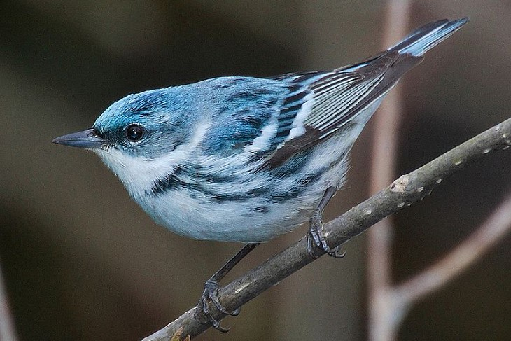 Research Tracking devices significantly burden migrant warblers