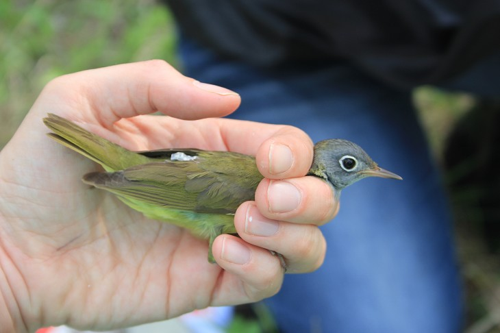 Research Geolocators reveal Connecticut Warblers' amazing migration