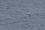 Rarity finders Black-browed Albatross at Bempton Cliffs