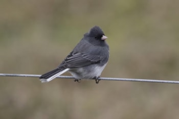 Research Male birds adjust courtship behaviour based on social context