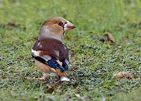 Focus On Hawfinch Bonanza