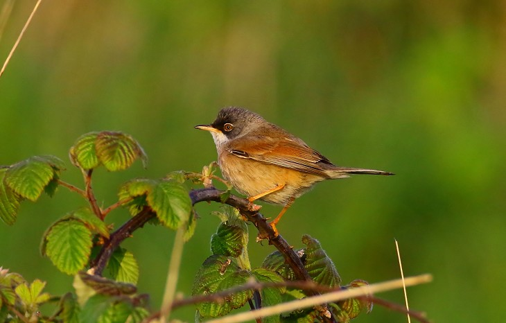 Rarity finders Spectacled Warbler on Portland, Dorset