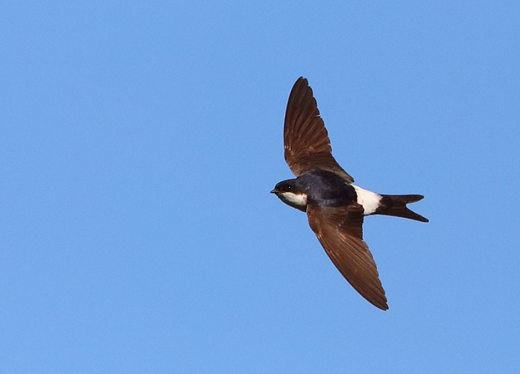 BTO British House Martins are late back to breeding sites