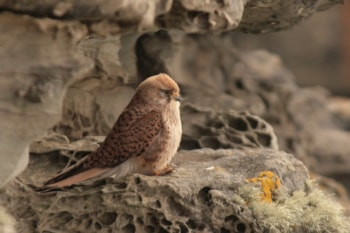 Rarity finders Lesser Kestrel on Noss, Shetland