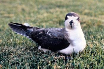 Research Radar reveals steep declines in Kauai's seabird populations