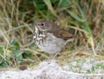 Research: Song diversity hints at Hermit Thrush's evolutionary past