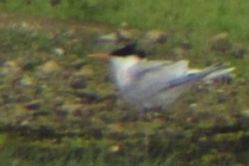 Rarity finders Elegant Tern in Hampshire