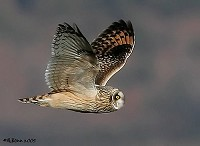 Focus On 'Eared' Owls