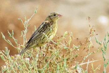 Research: Bobolink feathers reveal the species' winter diet